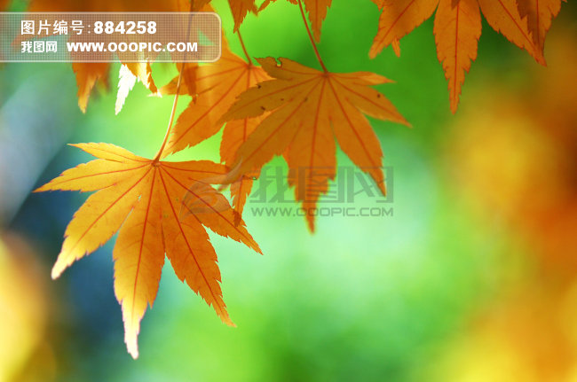 枫树 白昼 风景 秋分 自然 植物 部分 摄影 枫 红枫叶 自然风景 树叶
