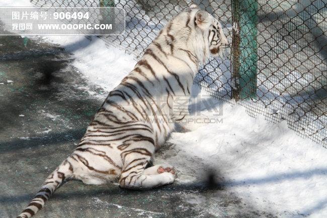 虎资源贸易能否有限开禁    最近,有消息传出,我国政府有关部门正在讨论:适度开放人工养殖虎骨贸易,第一年可能批准30副虎骨骨架入药。   来自国家濒危动物管理办公室的消息,我国已有3000只以上的养殖老虎,由于虎是国际最濒危动物及中国一级保护动物,受到《濒危野生动植物种国际贸易公约》(CITES)和我国野生动物保护法的保护,多年来国内外已完全禁止了所有相关贸易。   禁虎贸易多年来,我国各虎林园和动物园已积存了许多死虎骨架和器官,有的干燥保存,有的冷冻储存。   能否开禁老资源有限贸易,一时间引起众