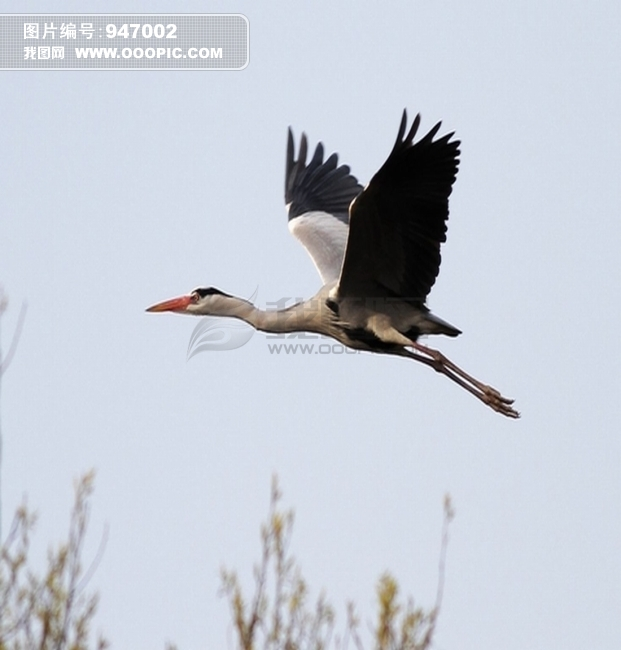 飞翔的鸟 飞翔的鸟卡通图片 飞翔的鸟简笔画 飞翔的鸟