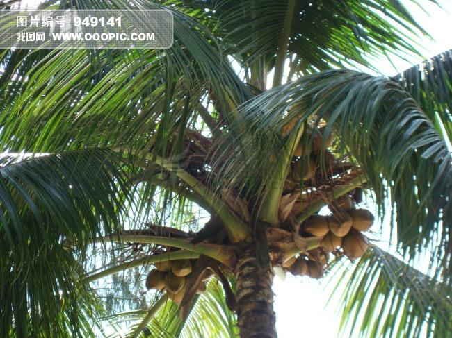 海南椰子树图片素材(图片编号:949141)_植物图片库
